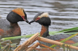 Horned Grebes during mating display, Lakeview Park, Saskatoon