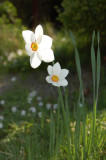 Pinselilje ( Narcissus poeticus Recurvus)
