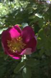 R. pimpinellifolia 'Single Cherry'/ 'Red Nelly'