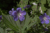 Storkenæb (Geranium)