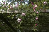 Rosa Arvensis 'Splendens'  England før 1835