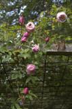 Rosa arvensis 'Splendens'