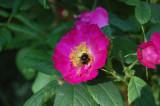 Rosa gallica 'Splendens' / 'Frankfurt' (måske fra før år 1583)