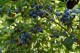 Amerikansk blåbær