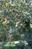 Bog  - Beech nuts