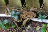 Skrubtudse - Toad