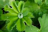 Løvefod - Alchemilla mollis