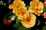 'Amber Queen'  (Bedrose)  Harkness, GB 1984
