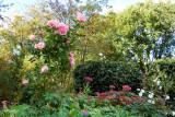 'Astrid Lindgren' blomstrer for 3. gang  (Poulsenrose, DK 1989)