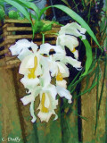 Angel Orchid by Chris Duffy - September 2008