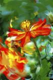 Humble Marigold