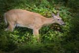 Chevreuil / White-tailed Deer