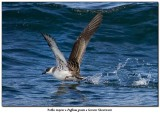 Puffin majeurGreater Shearwater