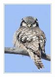 Chouettes, hibous / Owls