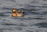 Hybride canard colvert x canard chipeauBrewer's duck? Mallard x Gadwall