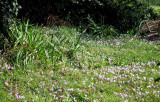 Cyclamen growing wild in the back yard