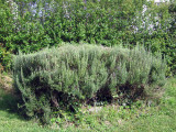 A large bush of rosemary