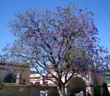A jacaranda tree