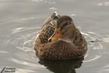 Ducks / Canards