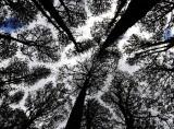 Kaura Trees