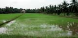 rice field near Ben Tre