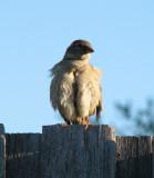 Bird on the fence again.