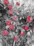 The Roses 18 April 2008