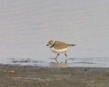 piping-plover-banded.jpg