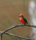 Vermillion-Flycatcher.jpg