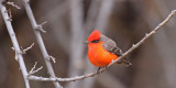 vermillion-flycatcher-I.jpg