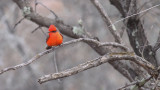Vermillion-flycatcher-III.jpg