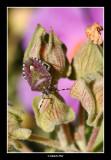 Dolycoris baccarum