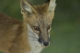 4/30/08- San Joaquin Kit Fox (Vulpes macrotis mutica)