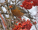 American Robin with a Mountain Ash berry