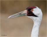 Whooping Crane (adult)