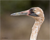 Whooping Crane (juvenile)