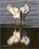 Trumpeter Swan (Juvenile)