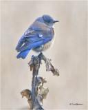 thrushes_bluebirds__kinglets