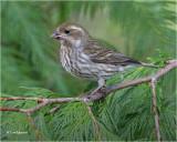 Purple Finch (female)