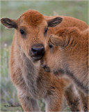 American Bison  calves or (Red Dogs)