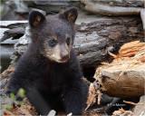 Black Bear (cub)