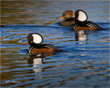 Hooded Merganser's
