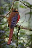 Masked Trogon  (female)