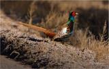 Ring-necked Pheasant (Bianchi's)