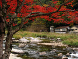 Japanese maple and the river
