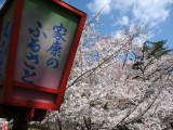 Lantern and sakura trees