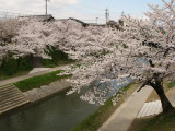 Sakura overhanging the Iga-gawa canal