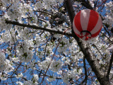 Cherry blossom flowers and hanami lantern