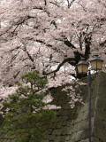 Manicured tree and lantern with sakura