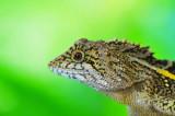 Lizard of Taiwan.
